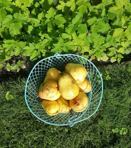 ripened pears